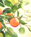 Original watercolor titled Sweet Oranges by Kay Allenbaugh